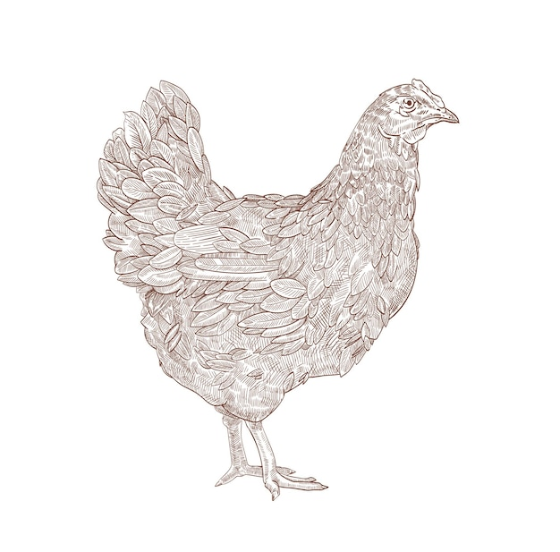 Hen or chicken hand drawn with contour lines on white background