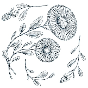 Herb medicinal chamomile or daisy wheel with leaves and buds.