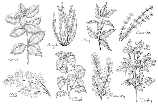 ハーブのスケッチ。ミント、ルッコラ、湾、ディル、バジル、ローズマリー、パセリ、セイバーダーハーブの多様性。