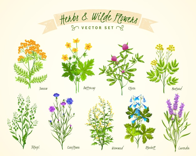 Herbs and wild flowers background set