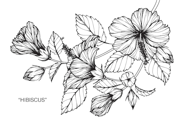 Hibiscus flower drawing illustration