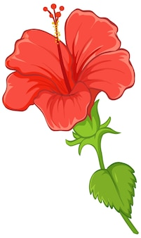 Hibiscus flower with leaf isolated on white