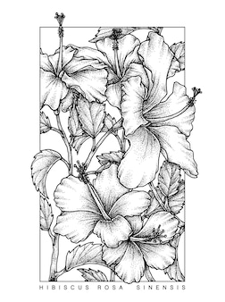 Hibiscus rosasinensis shoeblackplant рисованный эскиз ботанический