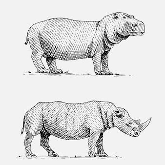 Hippopotamus and black or white rhinoceros hand drawn, engraved wild animals in vintage or retro style, african zoology set