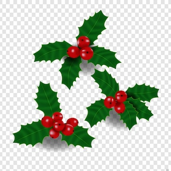 Holly plant vector for christmas