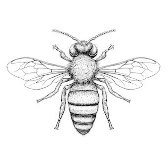 Honey bee engraving illustration on white background