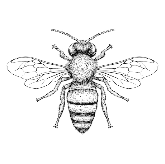 Honey bee engraving illustration on white background