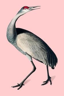 Hooping crane illustration