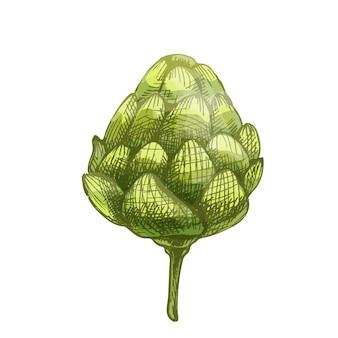Хмелевые растения. вектор цвет винтаж рисованной штриховкой иллюстрации, изолированные на белом фоне.