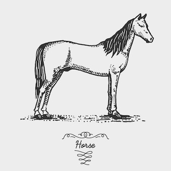 Horse engraved, hand drawn  illustration in woodcut scratchboard style, vintage drawing species.