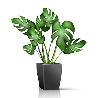 Комнатное растение в черном горшке изолированное на белом