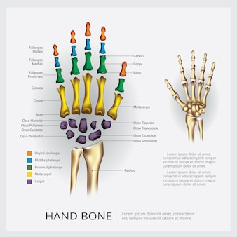 Human anatomy hand bone
