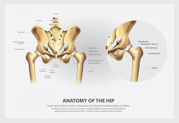 Human anatomy of the hip illustration