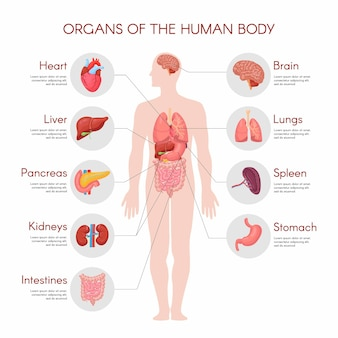 Human anatomy infographic elements with set of internal organs isolated on white background and placed in male body.
