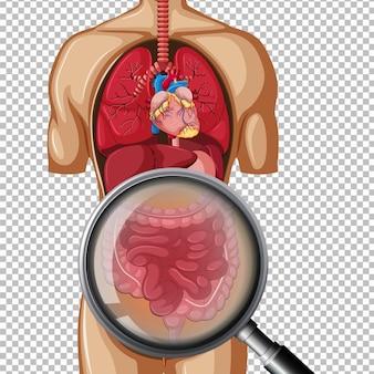 Human anatomy of intestine