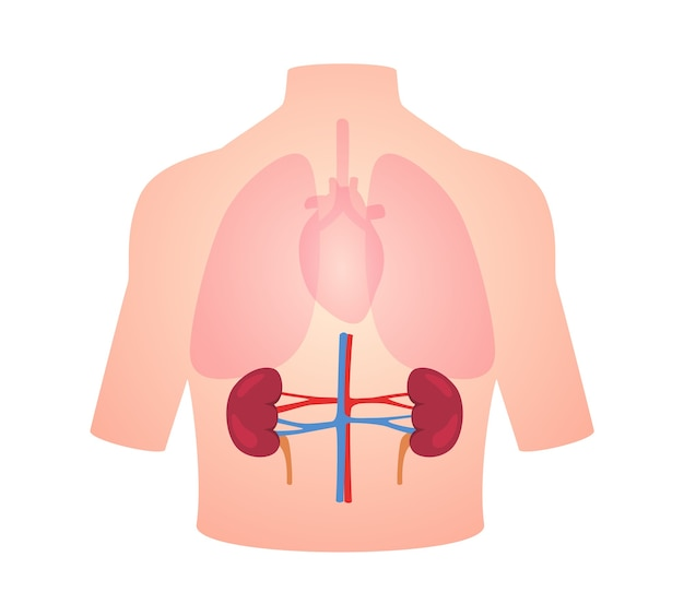 Human anatomy organ kidney position in body lung heart transparent