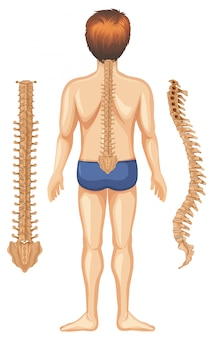 Human anatomy of spine on white background