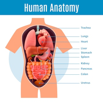 Human anatomy with body organs names realistic illustration