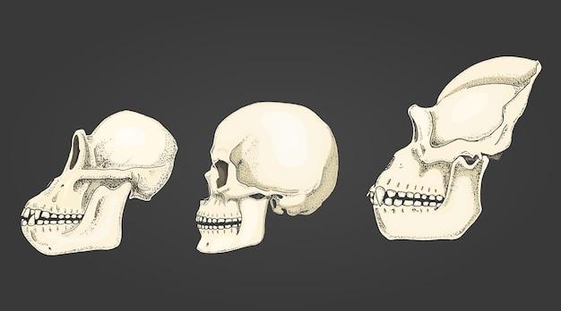 人間とチンパンジー、ゴリラ。生物学と解剖学のイラスト。古いスケッチとビンテージスタイルで描かれた刻まれた手。サルの頭蓋骨またはスケルトンまたは骨のシルエット。ビューまたは顔またはプロファイル。
