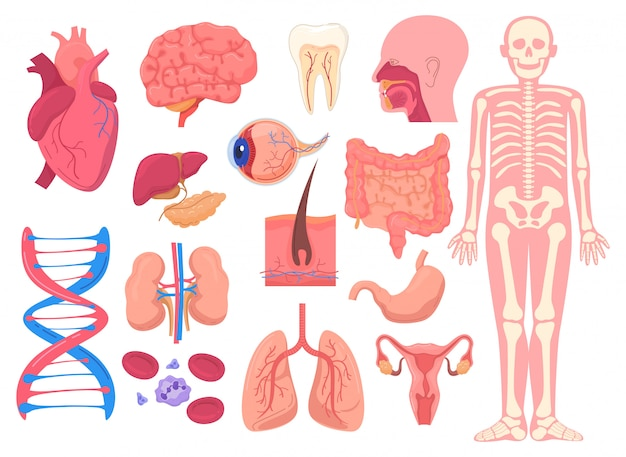 Human body anatomy organs, medical illustration