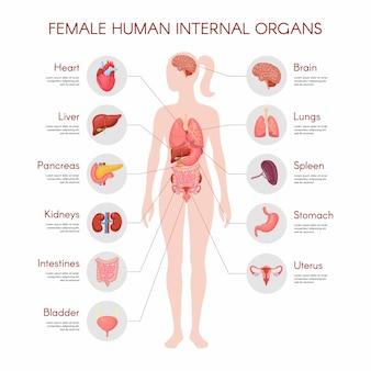 인체 해부학, 여성 내부 장기 포스터. 의료 infographic 그림입니다. 간, 위, 심장, 뇌, 여성 생식 기관, 방광, 신장, 갑상선. 격리 된 흰색 배경