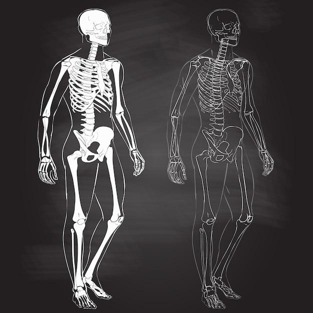 Человеческое тело и скелет