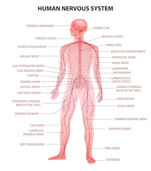 Human body central brain spinal cord and peripheral nervous system realistic educative chart anatomical terminology