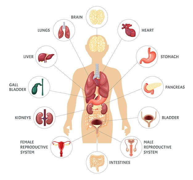 Human body internal organs infographic