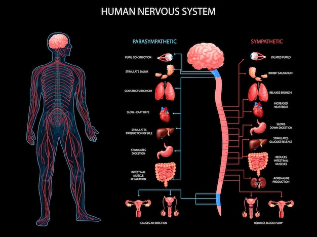 Human body nervous system sympathetic parasympathetic charts with realistic organs depiction anatomical terminology
