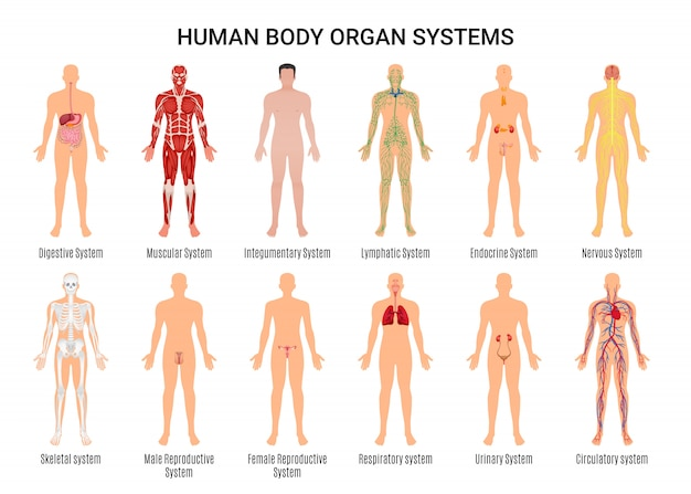 Human body organ systems character poster