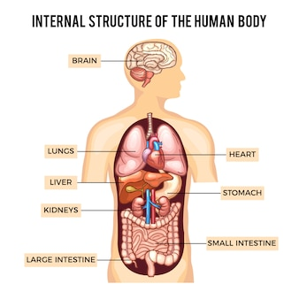 Human body and organs systems