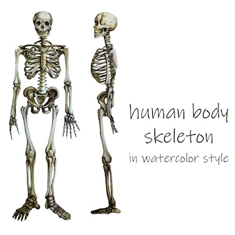 Human body skeleton in water color style.