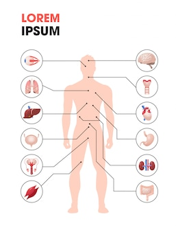 Human body structure infographic poster with internal organs icons anatomy system full length copy space vertical