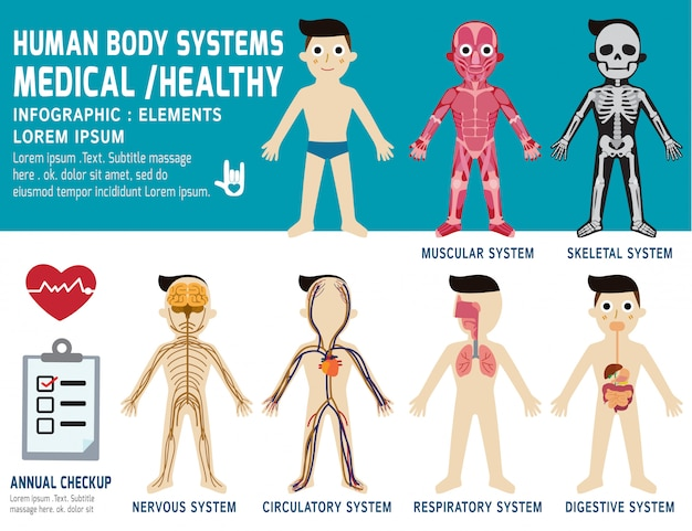 Human body systems, annual checkup, anatomy body organ chart, muscular, skeletal, circulatory, nervous and digestive