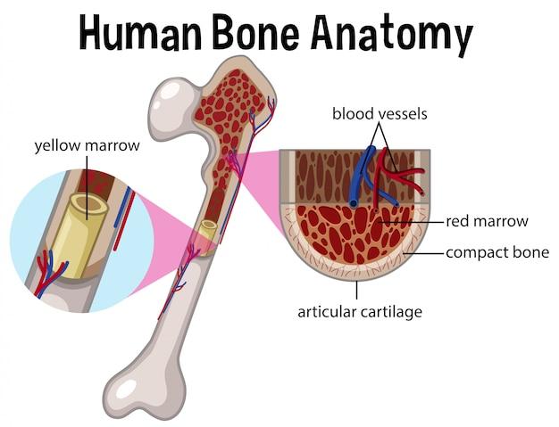 Анатомия человека и диаграмма