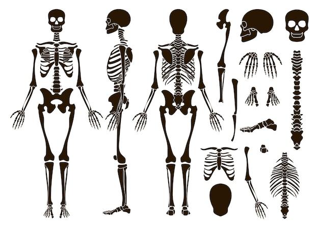 Human bones skeleton structure elements set