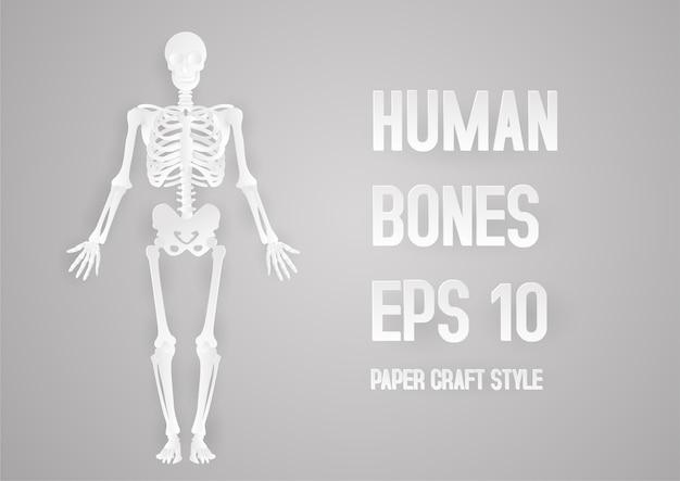 Human bones skeleton