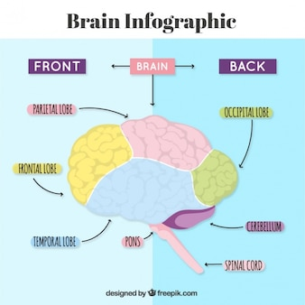 Human brain infographic with arrows and colors