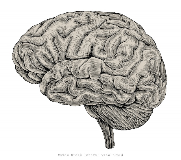 Human brain lateral view hand drawing vintage engraving illustration