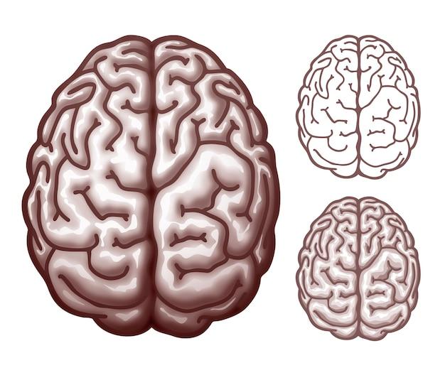 Человеческий мозг. вид сверху