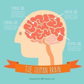 The human brain Premium Vector