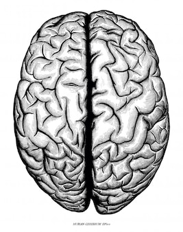 Human cerebrum top view hand draw engraving vintage isolated on white background