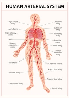 Human circulatory system anatomy