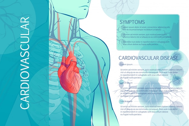 Human circulatory vascular system