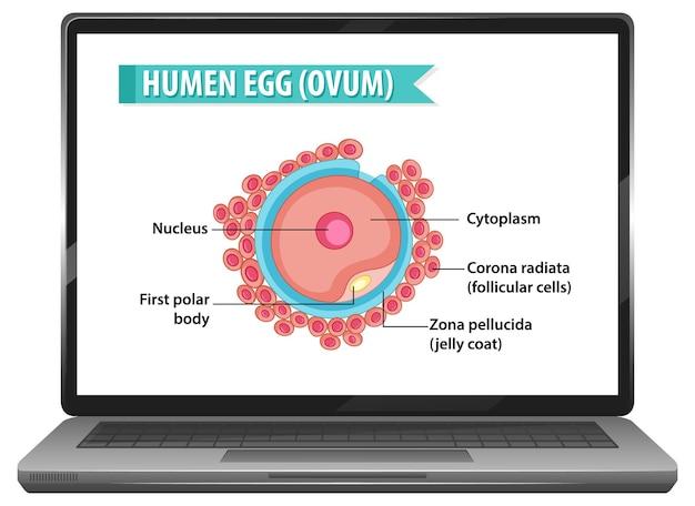 Human egg on notebook desktop