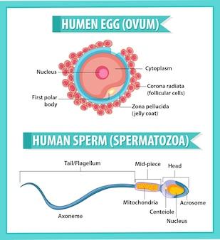 人間の卵または卵子の構造と健康教育インフォグラフィックの人間の精子または精子
