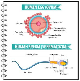 Структура человеческого яйца или яйцеклетки и человеческие сперматозоиды или сперматозоиды для санитарного просвещения инфографики