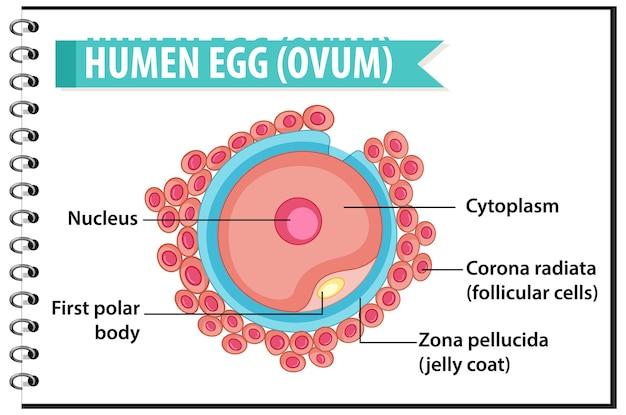 健康教育のインフォグラフィックのための人間の卵子または卵子の構造