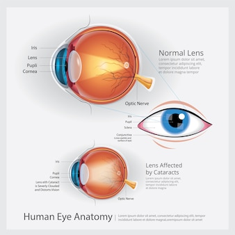 Human eye anatomy illustration