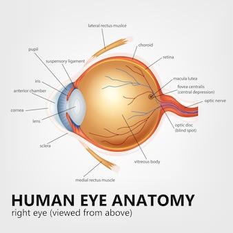 Анатомия глаза человека, правый глаз, вид сверху